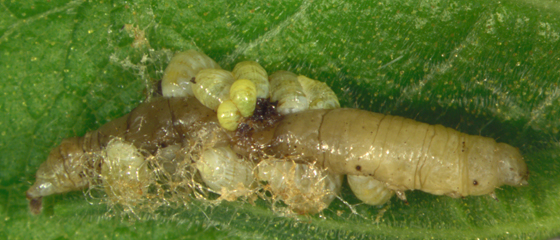 Eulophidae larvae - Euplectrus
