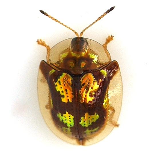 Tortoise Beetle - Deloyala guttata