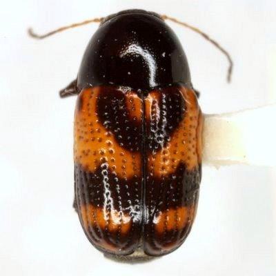 Cryptocephalus multisignatus Schaeffer  - Cryptocephalus multisignatus
