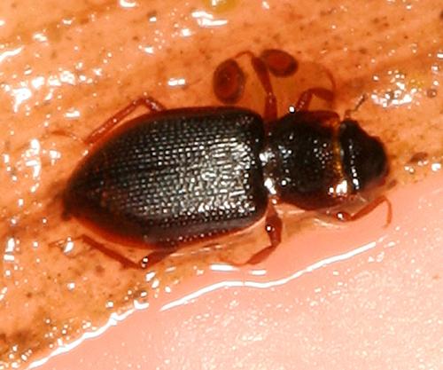 Tiny Aquatic Beetle - Hydraena
