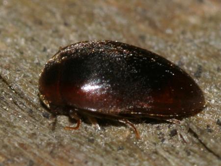 water beetle? - Nycteus oviformis