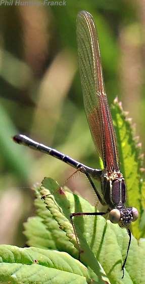 Damselfly - Hetaerina americana - male