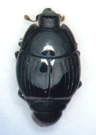 histerid 3 - Atholus nubilus - male
