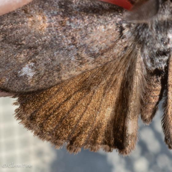 Orgyia vetusta - Orgyia pseudotsugata - male