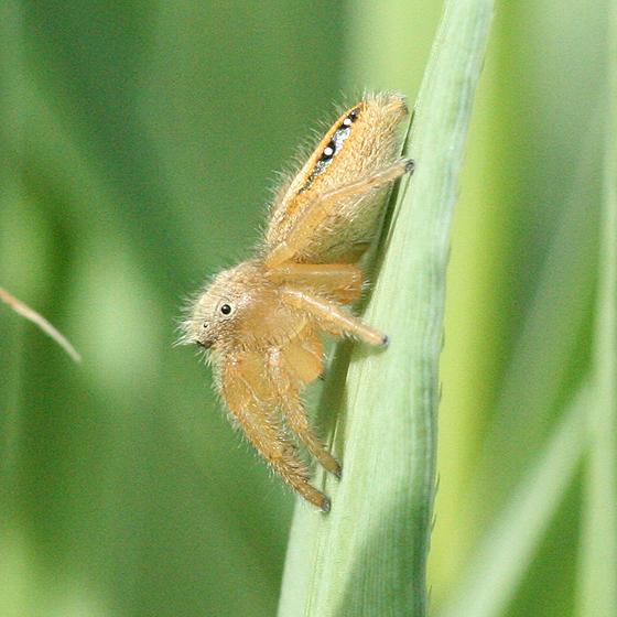 Blonde Jumping Spider - Phidippus cardinalis - female