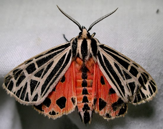 moth - Grammia virgo