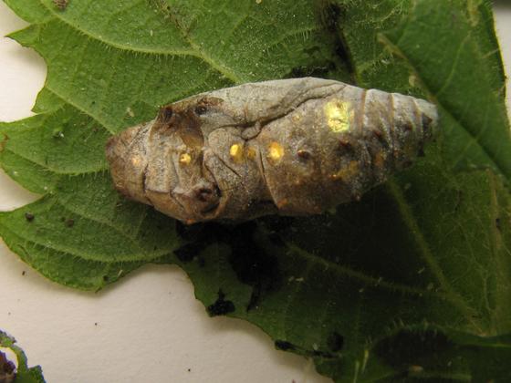 Caterpillars and pupa on nettle - Vanessa atalanta