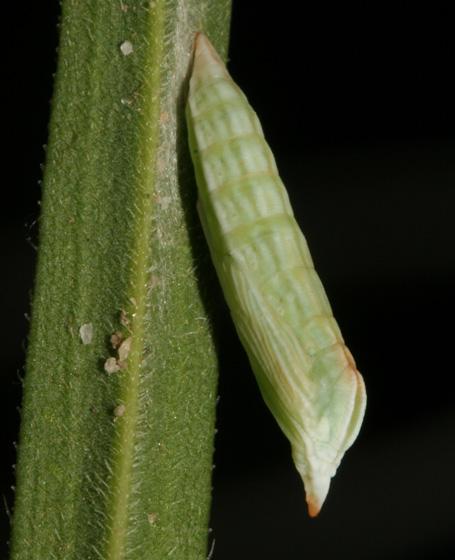 Gillmeria pallidactyla pupa - Gillmeria pallidactyla