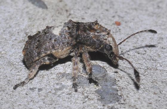 Snout nose weevil? - Toxonotus cornutus