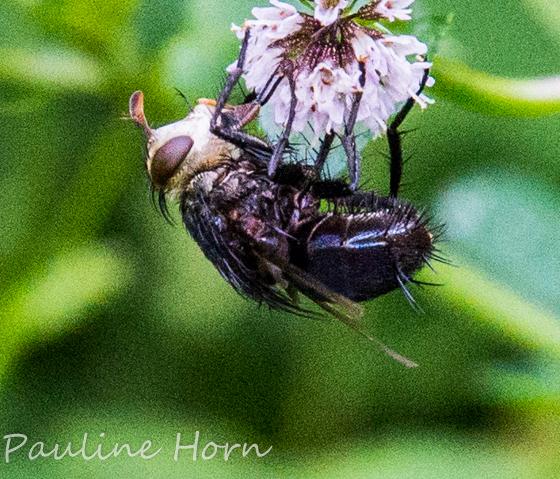 Tachinid Fly? - Archytas metallicus