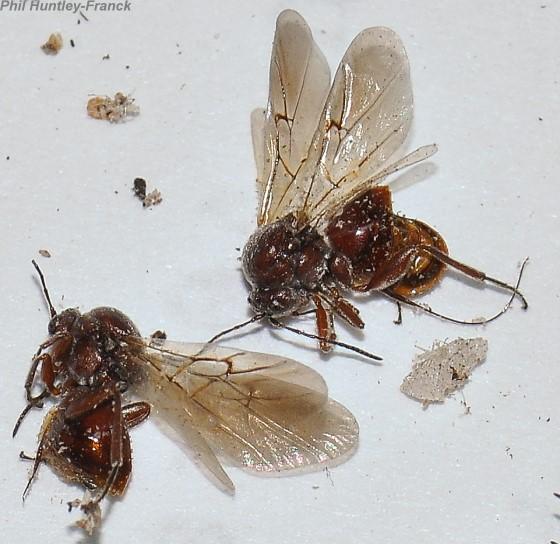 Gall wasp - Andricus quercuscalifornicus