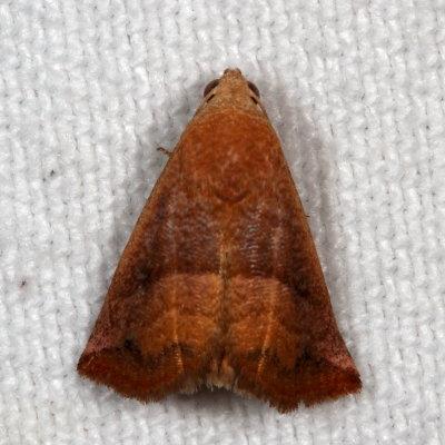 Eublemma cinnamomea