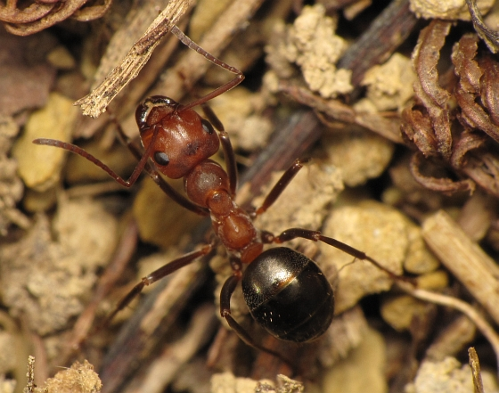 Formica exsectoides - female