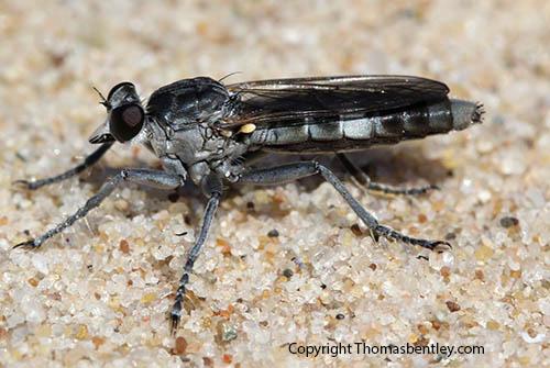 Robberfly - Stichopogon trifasciatus - female