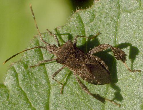 little leaf-footed bug - Leptoglossus brevirostris