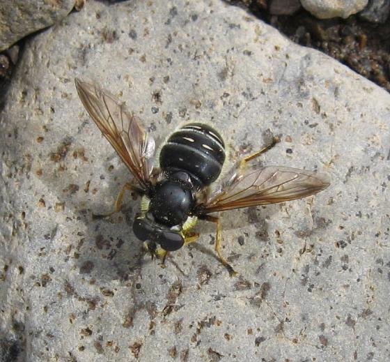 Syrphidae 01 - Sericomyia militaris - female