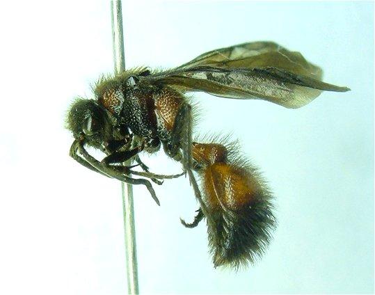 Mutillid 2 - Dasymutilla - male