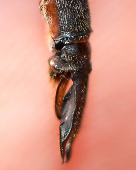 Incurvate Emerald, male cerci and paraprocts - Somatochlora incurvata - male
