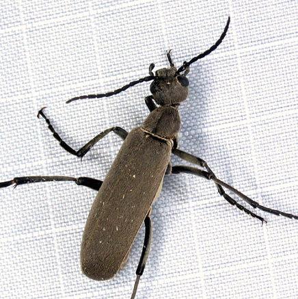 Slender black-legged Epi - Epicauta brunnea