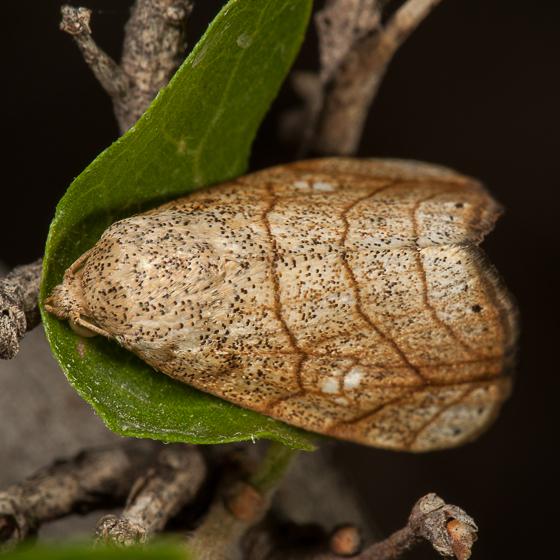 Moth - Bagisara tristicta