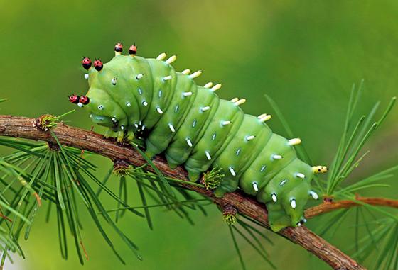 Hyalophora columbia - Hyalophora columbia
