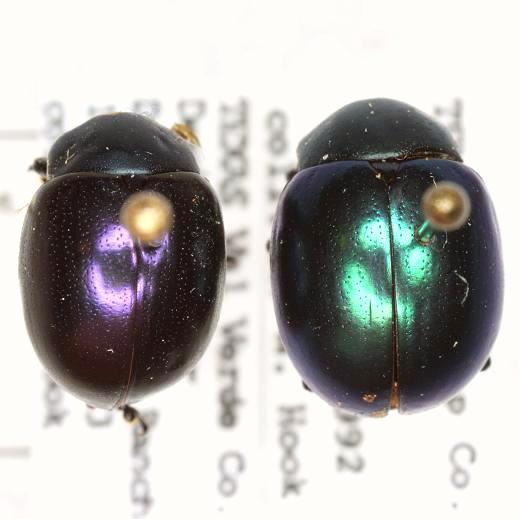 Leptinotarsa haldemani (Rogers) - Leptinotarsa haldemani