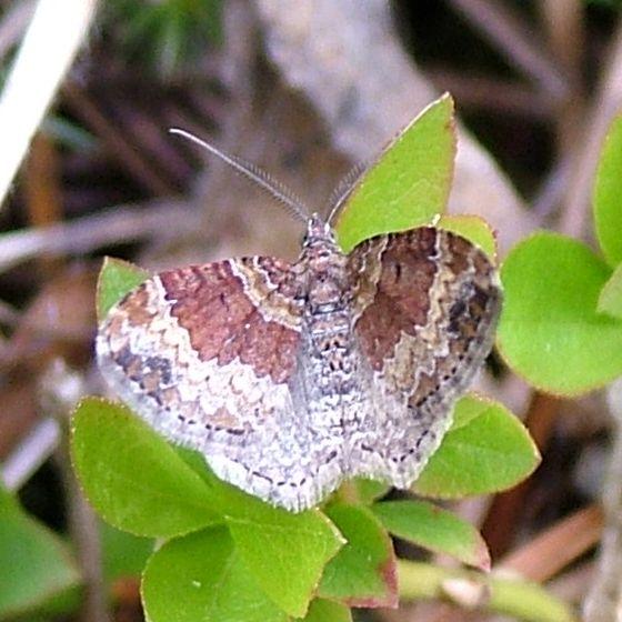 A Carpet from Colorado - Xanthorhoe ferrugata - male
