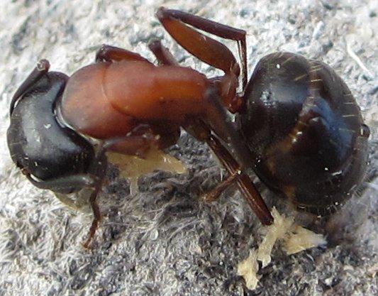 Ant - Camponotus novaeboracensis