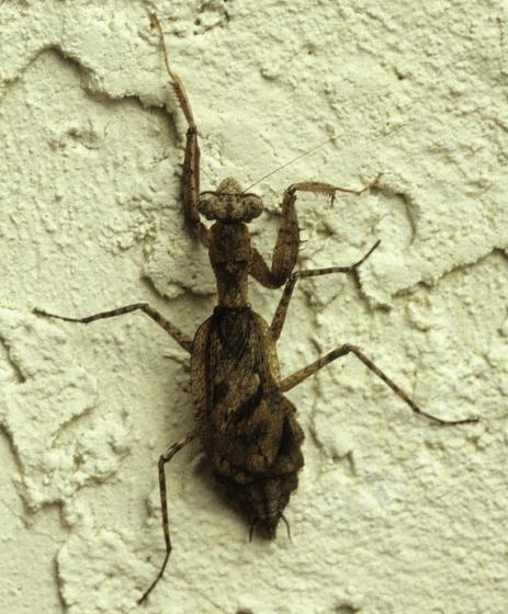 Grizzled Mantid - Gonatista grisea - female