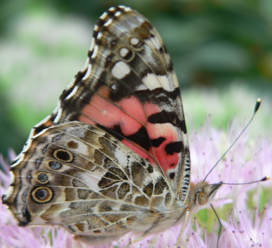 Painted Lady with white spot - Vanessa cardui