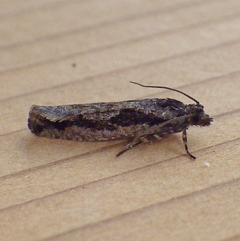 Tortricidae: Epinotia zandana?
