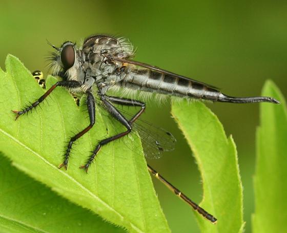 Robber fly - Efferia aestuans - female