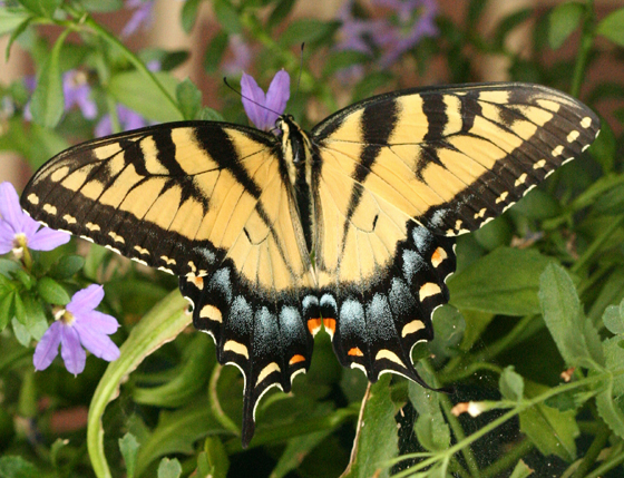 Eastern Tiger Swallowtail - Papilio glaucus - female