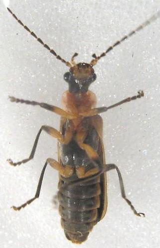 Podabrus appendiculatus? - Podabrus appendiculatus