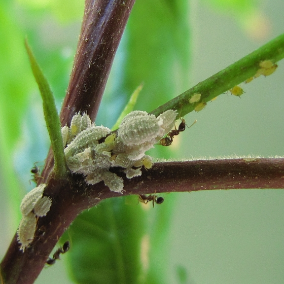 Mealybugs And Aphids On Hibiscus Bugguidenet