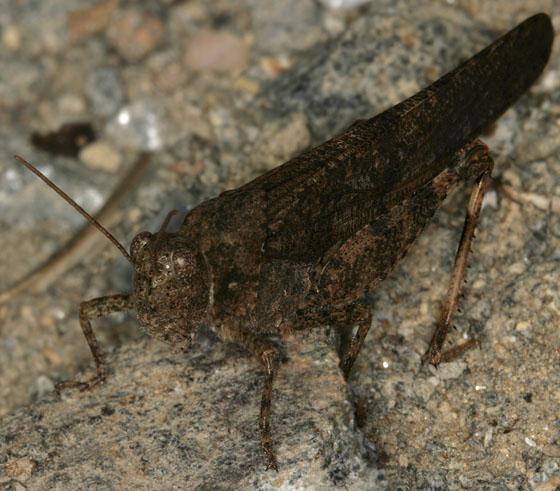 Acrididae 1931 - Trimerotropis verruculata - male