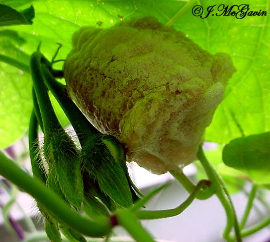 Chinese Mantis Egg Case - Tenodera sinensis