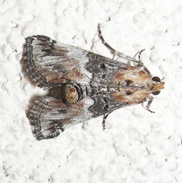 Moth #08-179 - Toripalpus trabalis
