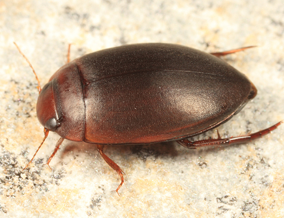 water beetle - Agabetes acuductus
