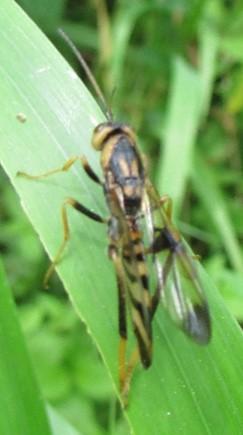 hymenoptera 2 - Ibalia anceps