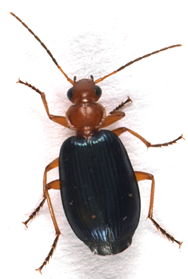 Beetle to black light - Lebia