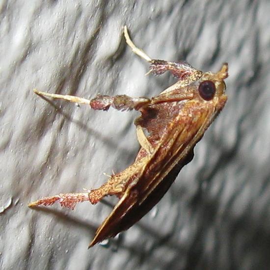 Genus Galasa? - Negalasa rubralis - male