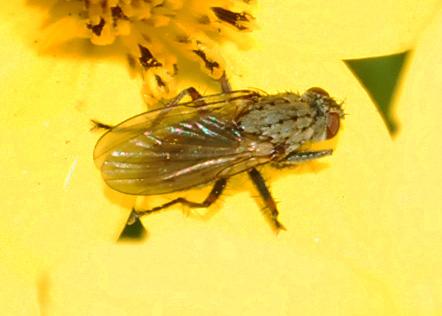 Reality Check: Coenosia, the tiger fly?  - Coenosia tigrina