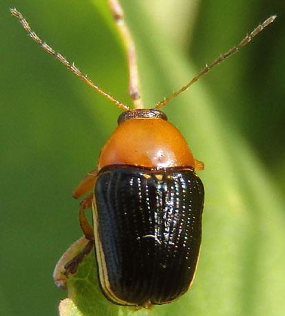 Case-bearing Leaf Beetle - Cryptocephalus venustus