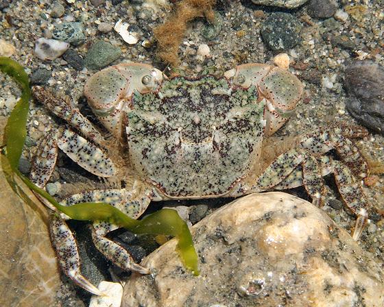 Green Shore Crab - Hemigrapsus oregonensis