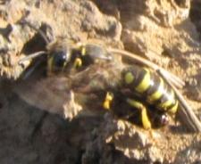 Wasp - Aphilanthops - female
