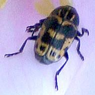 Beetle on wild rose - Cryptocephalus castaneus