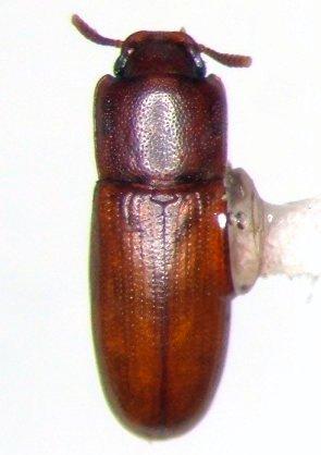 Teneb - Palorus subdepressus
