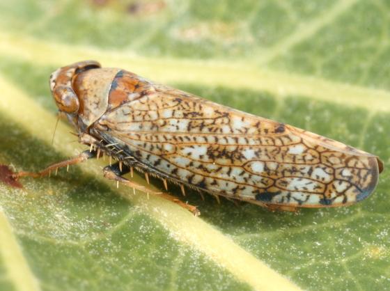 Leafhopper - Orientus ishidae
