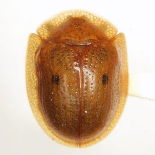 Strongylocassis atripes (J. L. LeConte) - Strongylocassis atripes